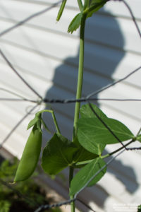 snap pea with shadow of person behind